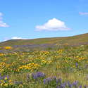 Balsamroot rivals Dog Mountain
