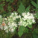 Pacific waterleaf