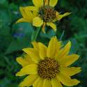 The last of Balsamroot