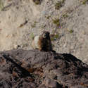 Saw about 4 marmots near Ape Canyon, and heard a few more