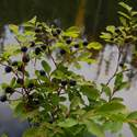 Some good black huckleberries there  (the tasty kind)