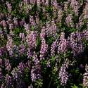 The lupine was everywhere!