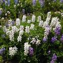 3 colors of lupine