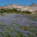 Fields of lupine on Snowgrass Flats