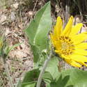 first balsamroot of the season