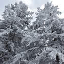 Trees in rime on the summit