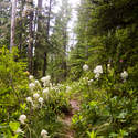 The entire trail was lined with bear grass and rhododendrons.