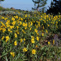 Balsamroot's still going good along the trail to North Point