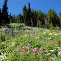 While summit meadows were a little past peak, forest meadows were as good as they probably get