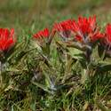 Early Indian Paintbrush